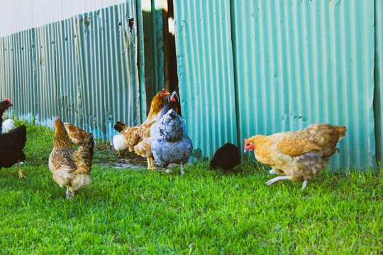 Chickens near house